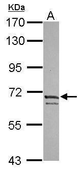 Kv4.3 Antibody (PA5-30942)