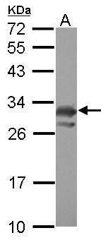 PCMT1 Antibody (PA5-30952) in Western Blot