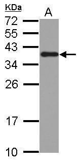 hnRNP A2B1 Antibody (PA5-30960) in Western Blot