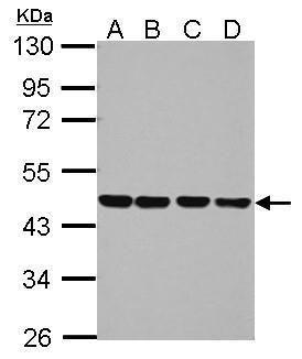 NUDC Antibody (PA5-30973) in Western Blot