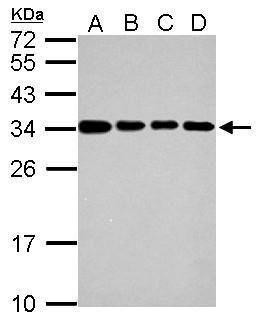 IFI35 Antibody (PA5-30980)