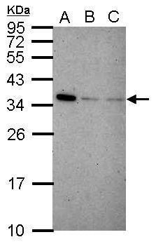IFI35 Antibody (PA5-30981) in Western Blot