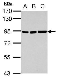 ZNF31 Antibody (PA5-30984)