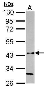 HAPLN3 Antibody (PA5-31002) in Western Blot