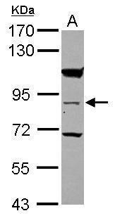 RASEF Antibody (PA5-31015) in Western Blot