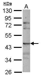 SIGLEC8 Antibody (PA5-31030)