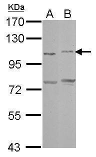 PCDHAC2 Antibody (PA5-31041)