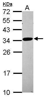 RPL8 Antibody (PA5-31054) in Western Blot