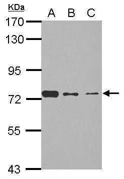 SENP3 Antibody (PA5-31055) in Western Blot