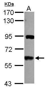 VAM1 Antibody (PA5-31064)