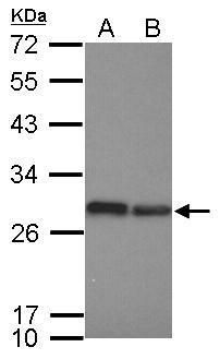 eIF6 Antibody (PA5-31066)