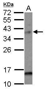 MAD2L1BP Antibody (PA5-31097) in Western Blot