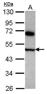 COPS4 Antibody (PA5-31125) in Western Blot