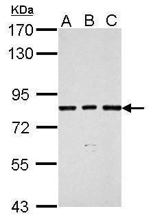 SLU7 Antibody (PA5-31127) in Western Blot