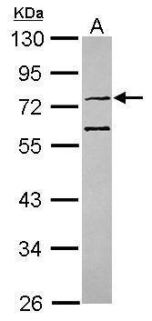 CMG1 Antibody (PA5-31131)