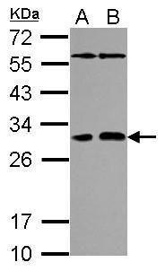 PAFAH1B2 Antibody (PA5-31152) in Western Blot