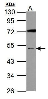 GABRA5 Antibody (PA5-31163) in Western Blot