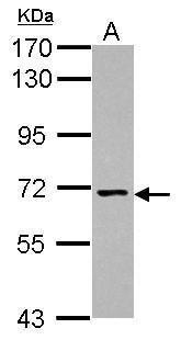 NCLN Antibody (PA5-31165) in Western Blot
