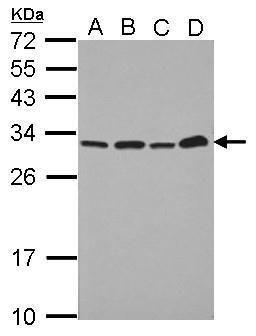 PSME1 Antibody (PA5-31173) in Western Blot