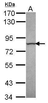 Calpain 13 Antibody (PA5-31179)