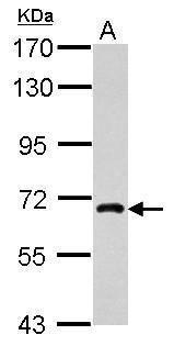 NUFIP1 Antibody (PA5-31183) in Western Blot