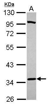 PURA Antibody (PA5-31194) in Western Blot