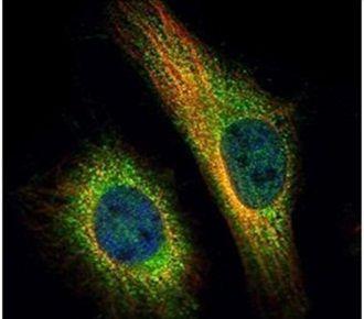 TNPO2 Antibody (PA5-31203) in Immunofluorescence