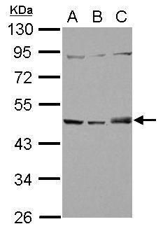 SNX5 Antibody (PA5-31206) in Western Blot