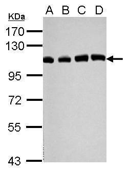 USP13 Antibody (PA5-31222)