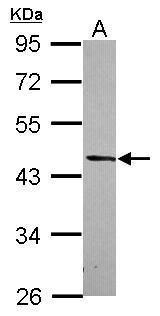 DRG2 Antibody (PA5-31224) in Western Blot