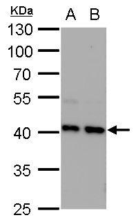 STRAP Antibody (PA5-31226) in Western Blot