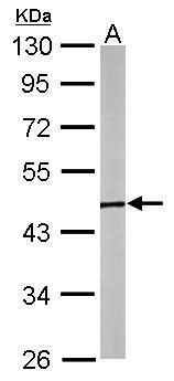 GTPBP9 Antibody (PA5-31227) in Western Blot