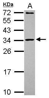 MRPL10 Antibody (PA5-31245) in Western Blot