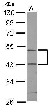 RUNDC3A Antibody (PA5-31248) in Western Blot
