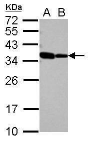 RBM11 Antibody (PA5-31249) in Western Blot