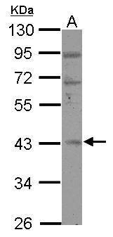 RBM4B Antibody (PA5-31272) in Western Blot