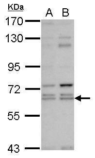 KLHL12 Antibody (PA5-31278)