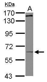 KIF19 Antibody (PA5-31280)