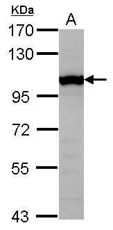 GTF3C4 Antibody (PA5-31288) in Western Blot