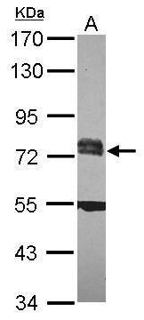 RC74 Antibody (PA5-31305)