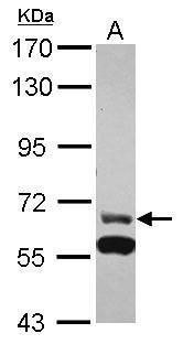 ZNF567 Antibody (PA5-31310)