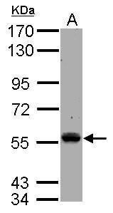 TEC Antibody (PA5-31316)