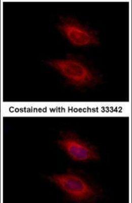 YARS2 Antibody (PA5-31325) in Immunofluorescence