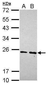 MRPS23 Antibody (PA5-31326) in Western Blot