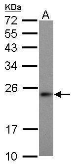 MRPS23 Antibody (PA5-31327) in Western Blot