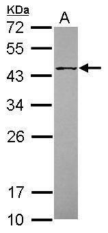 POFUT1 Antibody (PA5-31357) in Western Blot