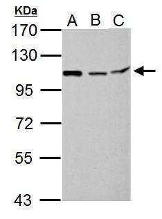 MTHFD1L Antibody (PA5-31360) in Western Blot