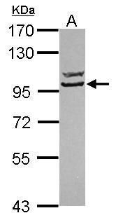 STRN3 Antibody (PA5-31368) in Western Blot