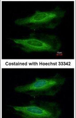 HECA Antibody (PA5-31372) in Immunofluorescence