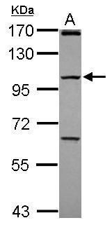 PCDHGC4 Antibody (PA5-31382) in Western Blot